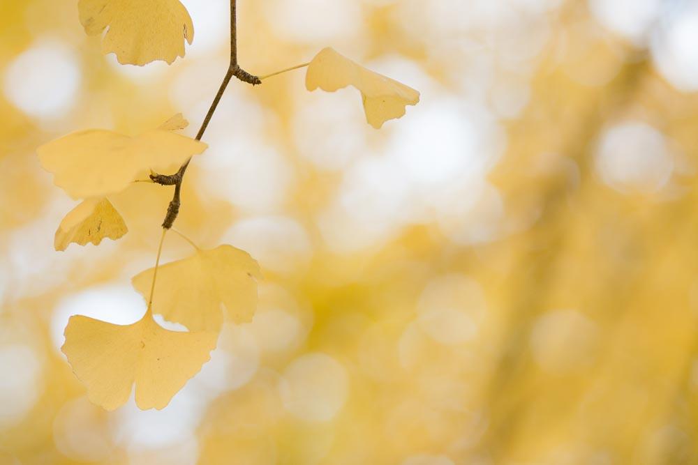 黄色い銀杏の後ボケ