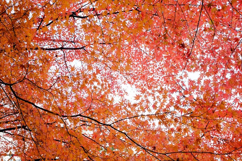 たくさんの色づいたカエデの葉