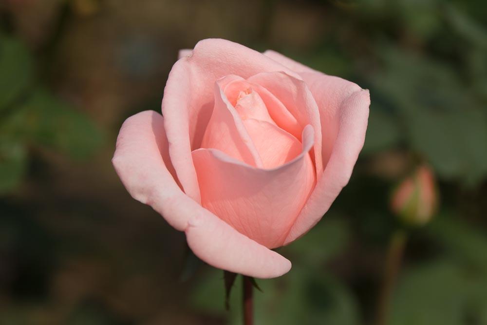 パステル ピンクの一輪のバラ