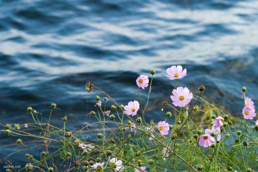 湖面と薄ピンクのコスモス