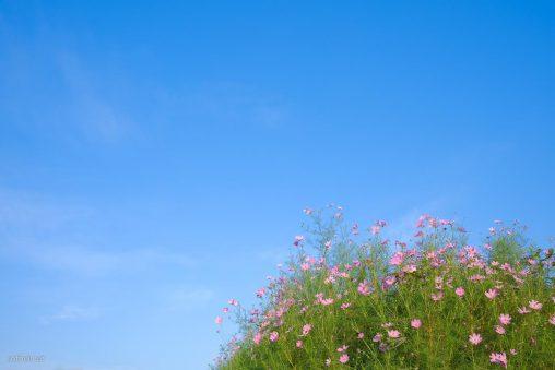青空とコスモスの花畑