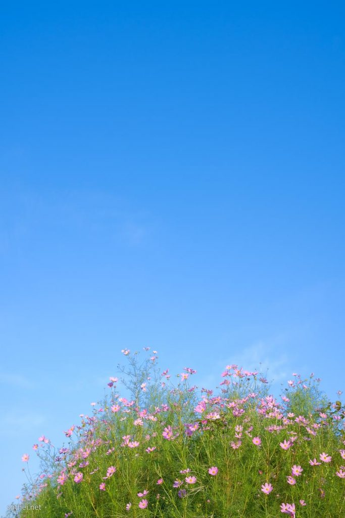 青空とコスモスの花畑(縦位置)
