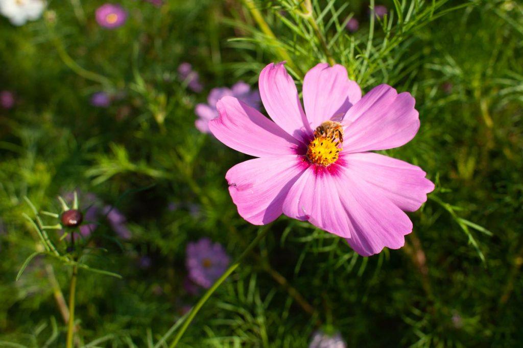 ピンクのコスモスにミツバチ