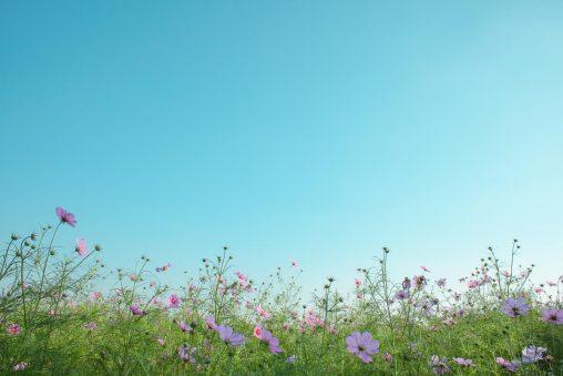 コスモスと快晴の空