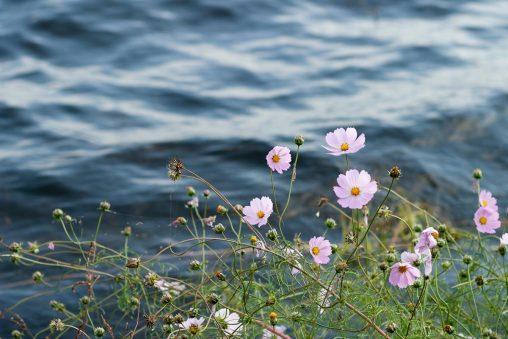 湖とコスモス