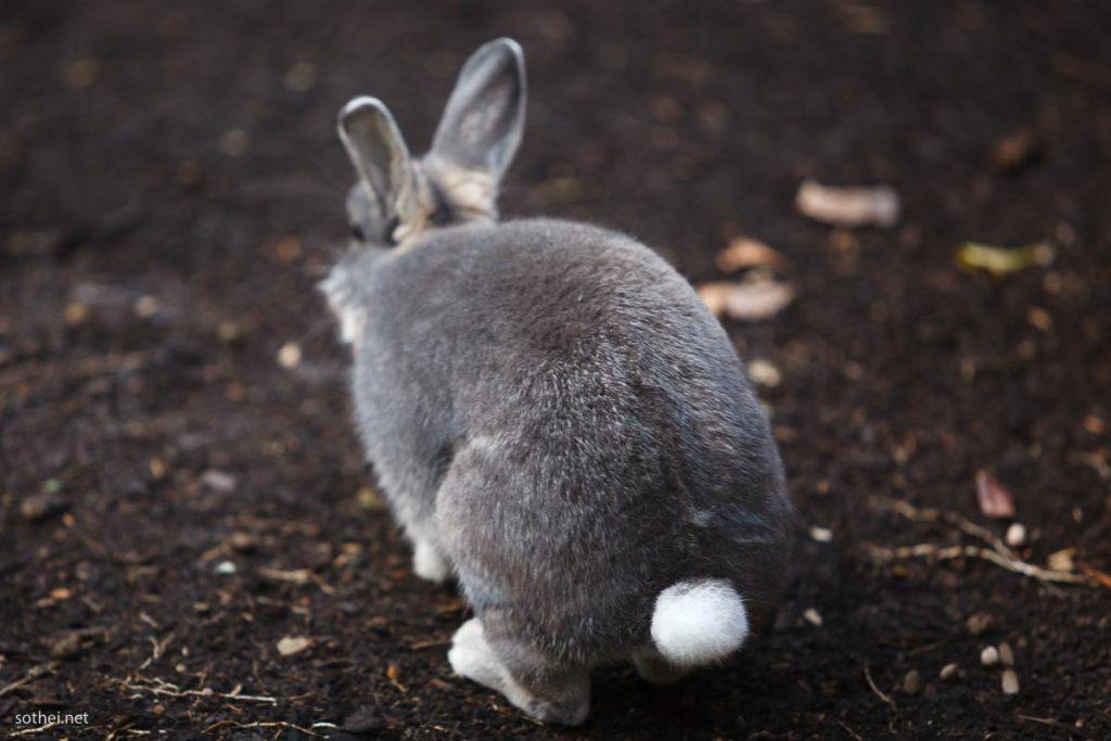 グレーのウサギの白いしっぽ