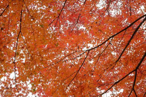 全面、真っ赤な紅葉