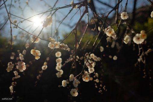 白梅の花と太陽