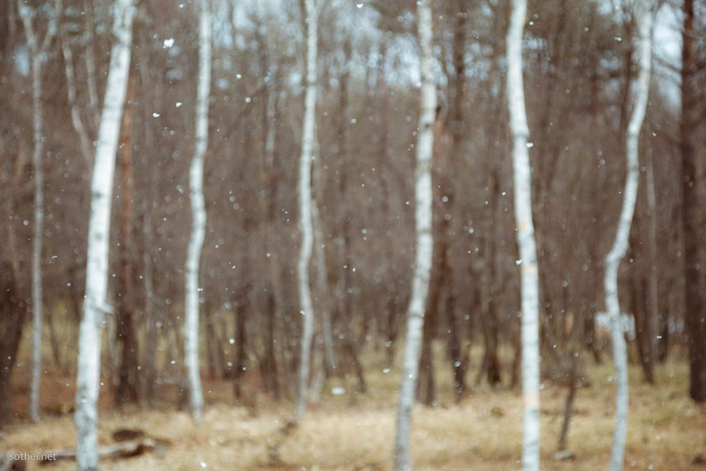 雪が舞う白樺林