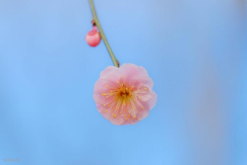 パステルピンクの梅の花