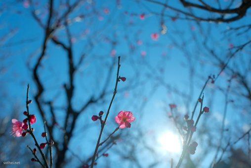 ピンクの梅の花と太陽