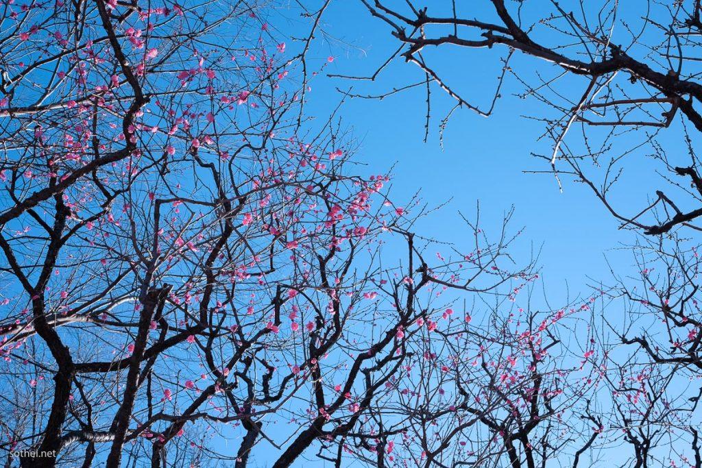 梅の木と花