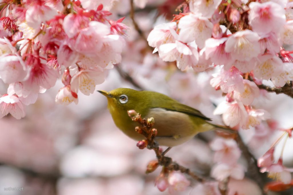 メジロと満開の桜