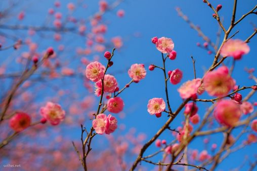 梅のショッキングピンクの花