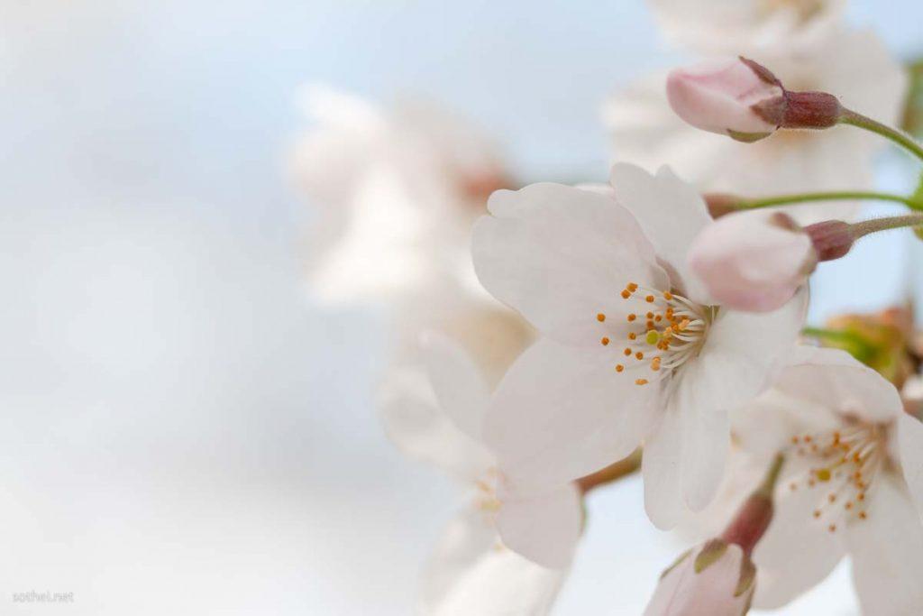 桜の花のズームアップ