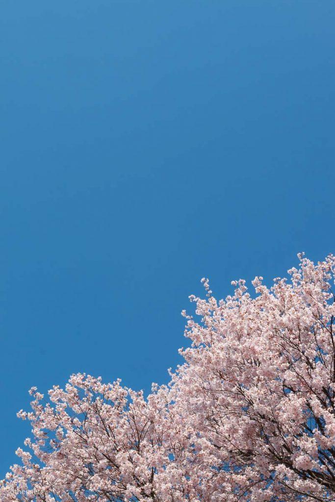 桜と青空(縦位置)