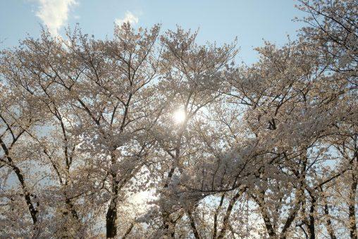 満開の桜と太陽