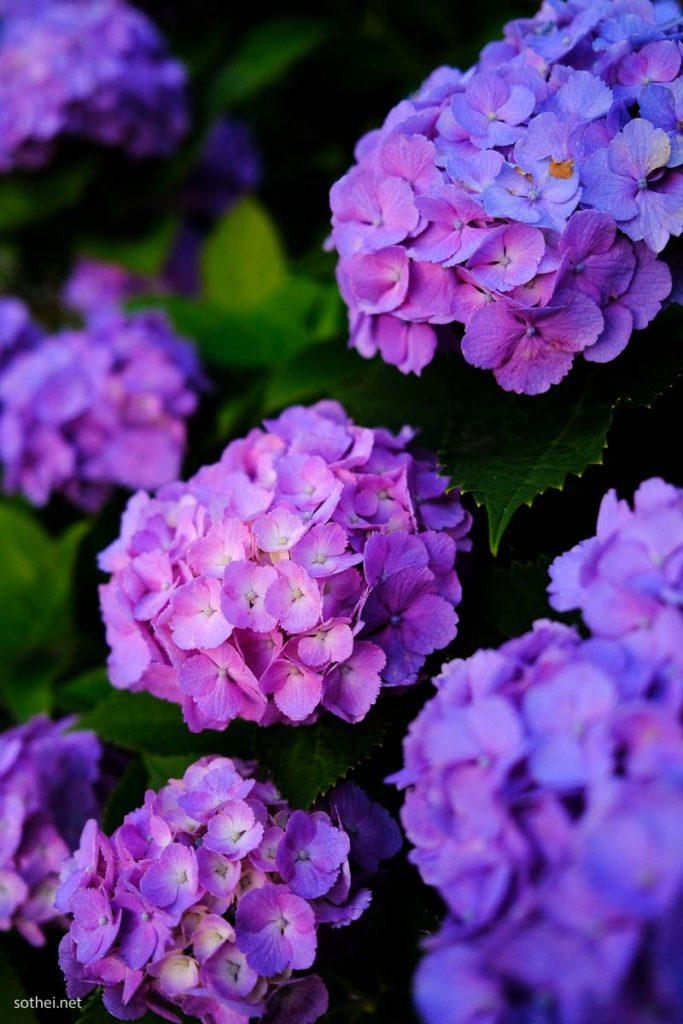 紫の紫陽花(縦)