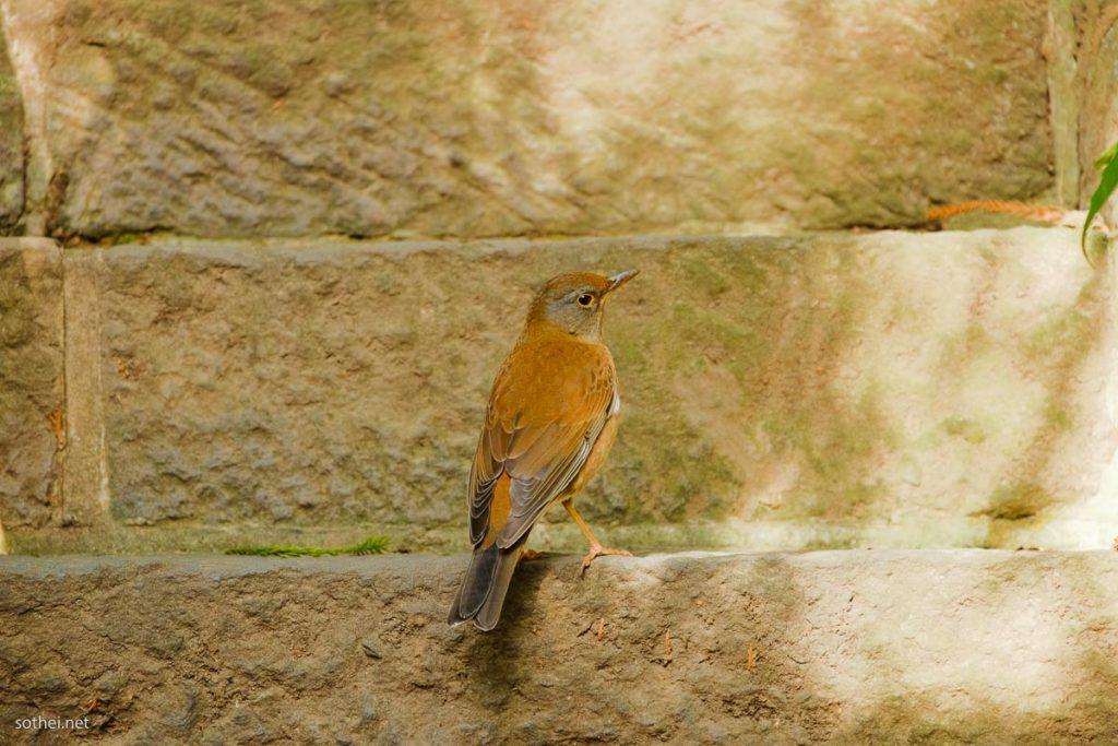 野鳥シロハラ