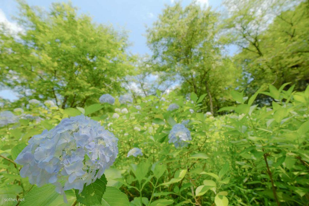 あじさいの花と緑