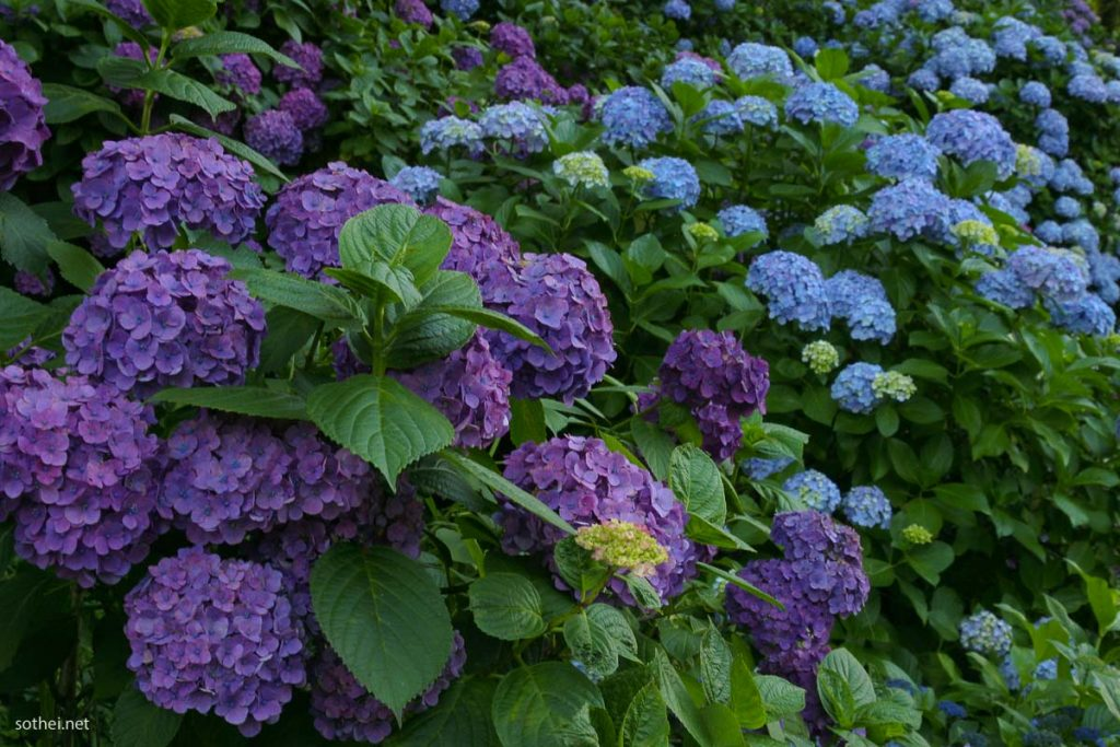 青と紫の紫陽花畑