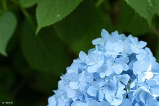 パステルブルーの紫陽花