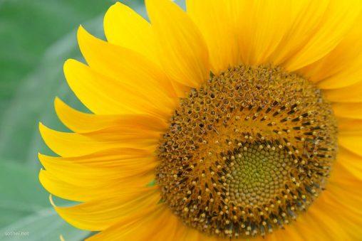 向日葵のアップ
