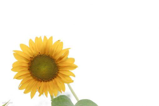 ひまわりの花の切り抜き