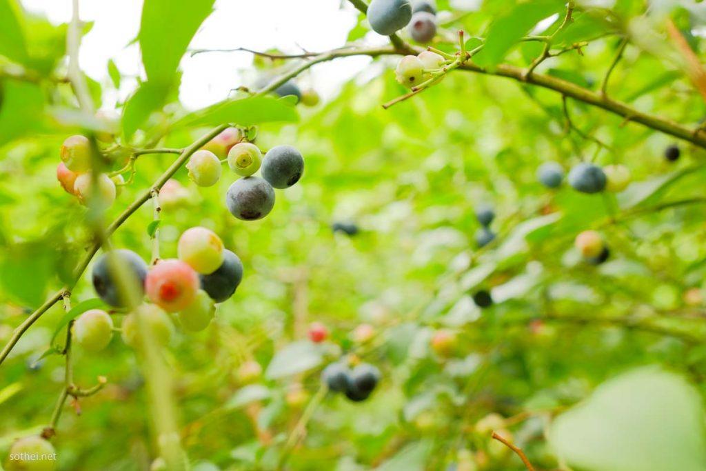 ブルーベリーの実がなる畑