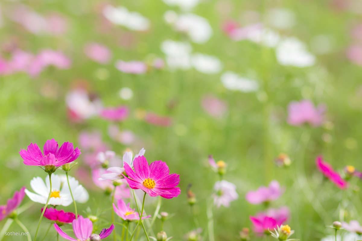 濃いピンクや白色のコスモス花畑