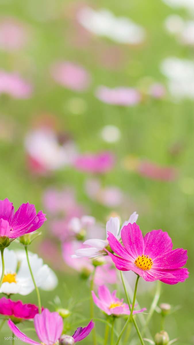 ピンクや白色のコスモス花畑 縦位置