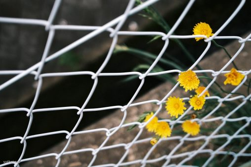 フェンスに咲くたんぽぽ