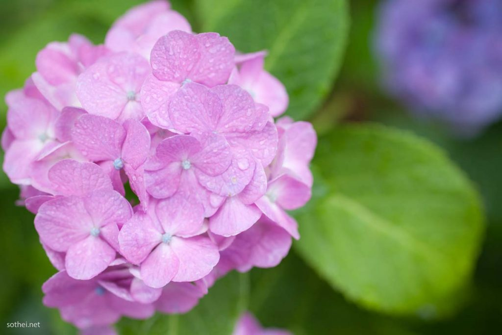 雨に濡れた紫陽花の花