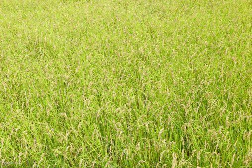 成熟期の田んぼ