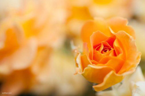オレンジのバラ ゴルデルゼ