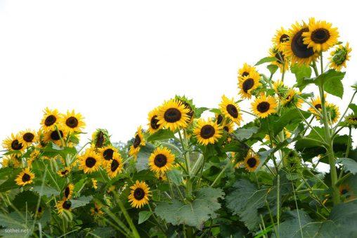 白背景、たくさんの向日葵