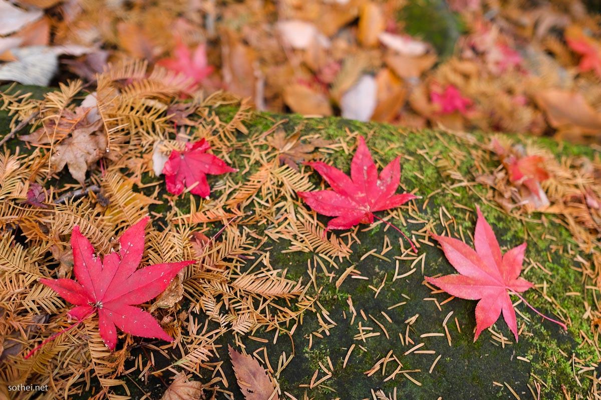 真っ赤な楓の葉っぱ