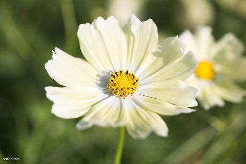 サンセットイエローのコスモスの花