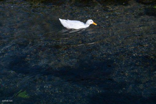泳ぐアヒル