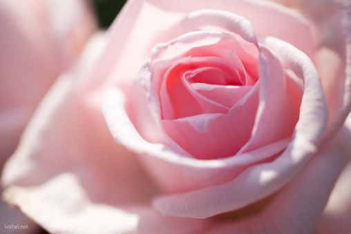 パステルピンクのバラ